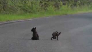 Baby bear cubs wrestle in middle of road in Yosemite National Park