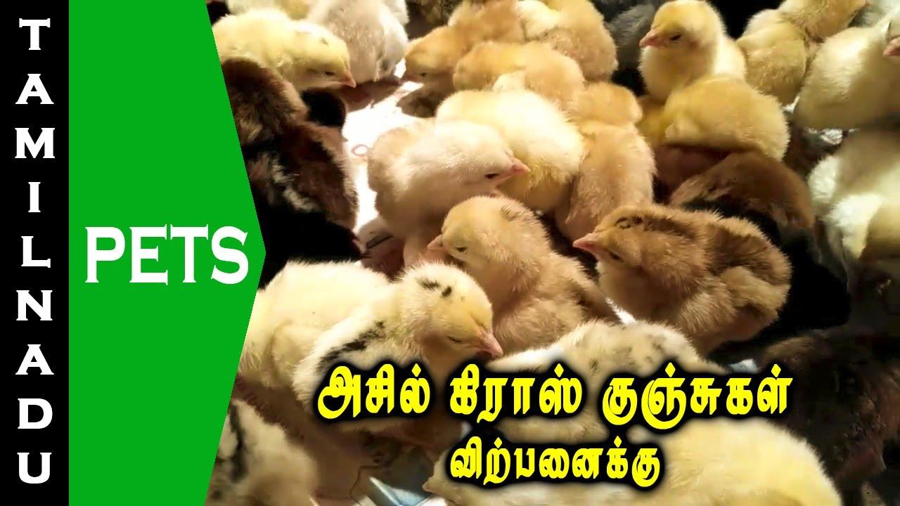 அசில் கிராஸ் குஞ்சுகள் விற்பனைக்கு || Aseel cross chicks for sale || Tamilnadu Pets || Tamil
