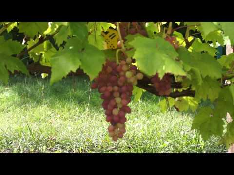 Виноград сорт Кишмиш Лучистый (август)