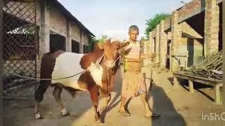 Barcode • 2019 Qurbani Cow • 85 Thousand From Rk Agro Bogura