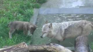 円山動物園のシンリンオオカミ家族、ジェイ(父/5歳)とキナコ(母/10歳)と...