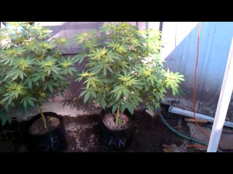Organic Grower Vs Chem Grower: Cutting Edge Edges to the top