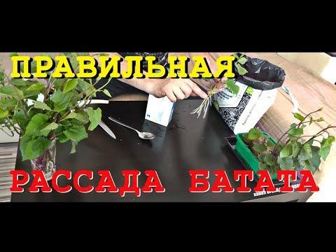 БАТАТ и ЕГО РАССАДА. Как правильно посадить рассаду батата / sweet potato