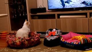 Тайский кот Дориан полюбил смотреть сериалы! Тайские кошки - это чудо! Funny Cats
