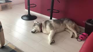 夢の中では犬らしくしてるみたいです。 シベリアンハスキー の文太です ...