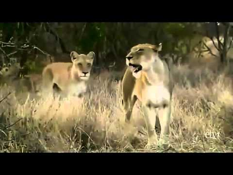 white lions royal family - nationals geographic documentary -