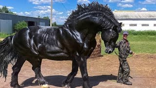 10 the biggest horses in the world
