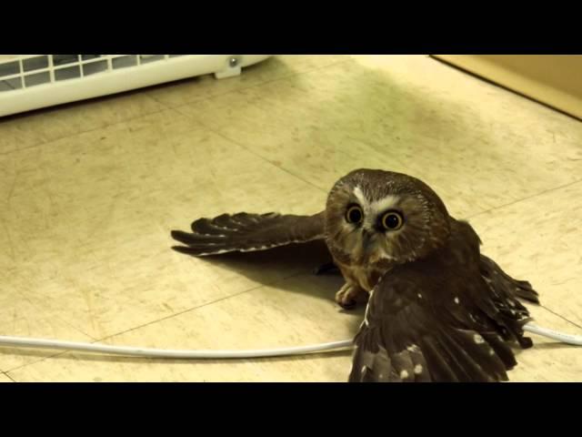 Saw-whet Owl Chilling By Fan