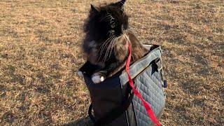 散歩に行くもあまりの寒さにキャリーバッグに引っ込む猫 ラガマフィン A cat that is too cold to refuse a walk