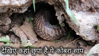 इतना बडा कोबरा सांप बहुत कमी मिलता है   Rescue big cobra snake from Ahmednagar, maharashtra, india