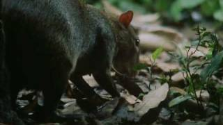 The Agouti and the Brazil Nut