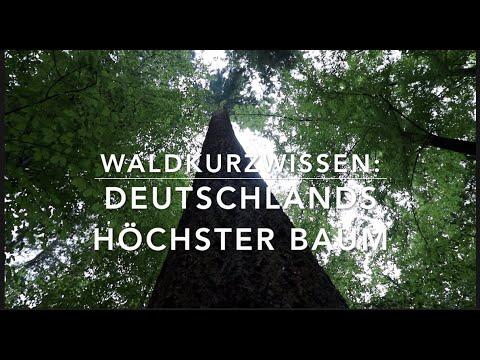 Deutschlands höchster Baum - Waldkurzwissen
