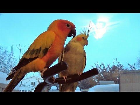Our Rescued Birds – Cockatiel & Sun Conure