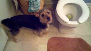 Borkie Dog Dropped His Favorite Tennis Ball In The Toilet