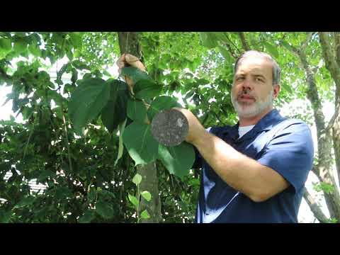 Fragrant Snowbell Tree (Styrax Obassia) - Plant Identification