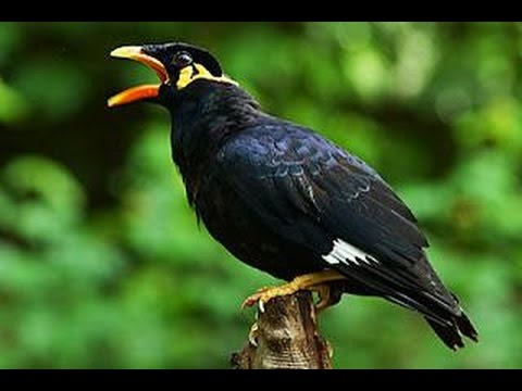 Suara Kicau, Suara Kicau Burung Beo Ngomong Assalamu'alaikum (Birdbalike)
