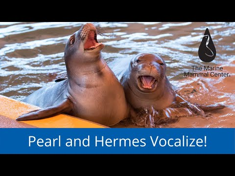 Pearl and Hermes vocalization