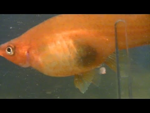 Pez cola de espada pariendo puesta d a s bado 13 10 2013 for Cria de peces ornamentales