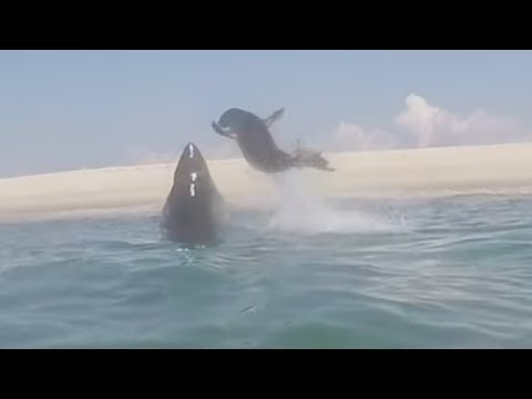 Great White Shark tries to eat a seal