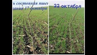 5 дней спустя... Результаты опрыскивания озимой пшеницы Лупус.