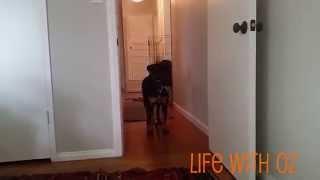 Freya The Rottweiler Foster Integration Into Rottweiler Pack