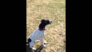 Blue Tick Coonhound/plot Hound And Weimaraner Freaking Out