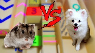 Snowball Dog vs Chip Hamster In Calculating Points Maze- Who Is The Best?