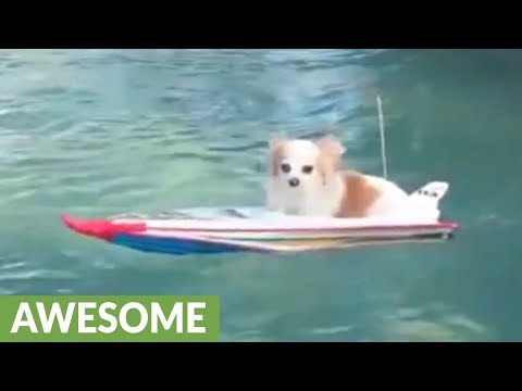 Pup cruises pool in remote controlled boat