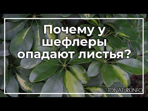 Почему у шефлеры опадают листья? | toNature.Info