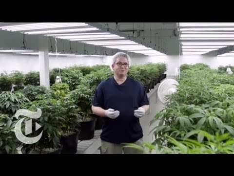 Inside the Cannabis Factory | The New York Times