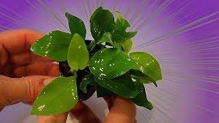 Anubias nana GOLDEN growth and care! thumbnail