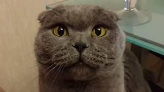 Говорящий кот вислоухий Шотландец
