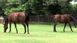 Horses at India's premier stud farm in Gurgaon