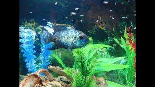 Перемены в аквариуме.Акара голубой неон.