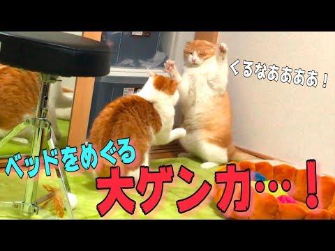 猫たちの寝床をめぐる喧嘩があまりにもスローすぎるんです…www
