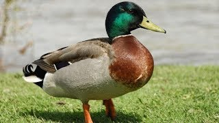 Duck hunting - Best of