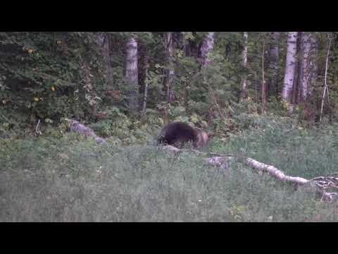 Медведь на овсе