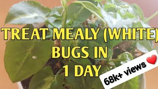 HOW TO TREAT MEALY BUGS IN ONE DAY | REMEDY FOR WHITE BUGS | HOME  SOLUTION-MEALY BUGS | DIY with RJ