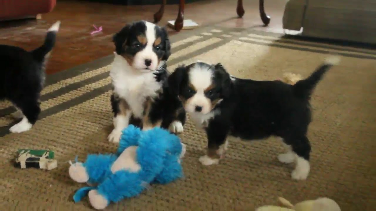 Mini Bernese Mountain Dog Puppies For Sale Youtube
