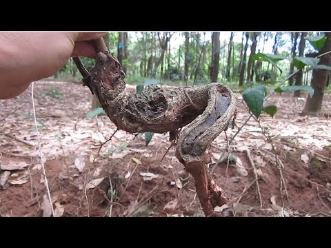 How To Collect Bonsai In Nature Youtube