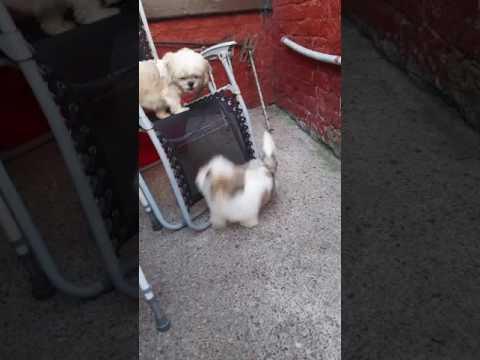 Shih tzu mum n pup playing