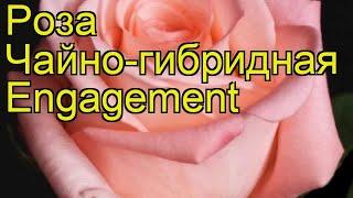 Роза чайно-гибридная Энгажемент. Краткий обзор, описание характеристик Engagement