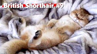 Golden British Shorthair #09   Maple Cat   This is Cat