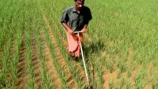 Single seedling: Increasing rice yields and decreasing water use through SRI