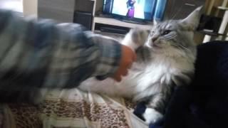 Мейн кун злится)