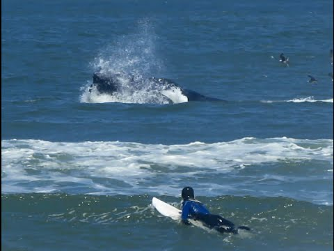 Surfing with lunge feeding Humpback whales,Pacifica, Linda Mar June 30, 2016