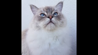 Very Vocal Ragdoll Cat       (Toby the Cat)