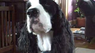 Ralph, The English Springer Spaniel Doing Tricks And Smacking Treats