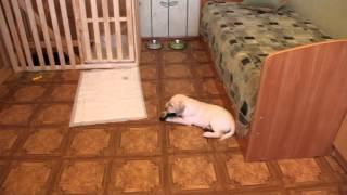 видео Щенок в доме, что делать