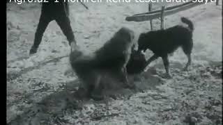 Canavar ve Qafqaz  coban iti